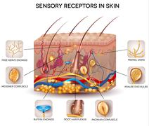 Sensory receptors in the skin - stock illustration