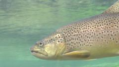 Trout feeding underwater Stock Footage