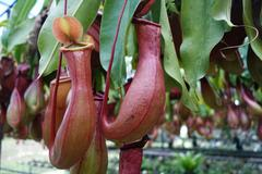 Tropical pitcher plant - stock photo
