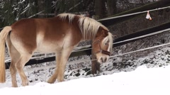 Haflinger - Winter - Horse in slow motion Stock Footage