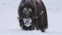 Huge muskox bull shaking its body standing watching Stock Footage