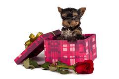 Yorkshire terrier puppy Stock Photos