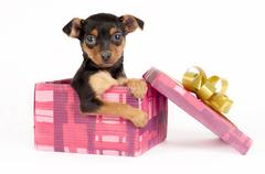 Pincher puppy in a Christmas gift box. - stock photo