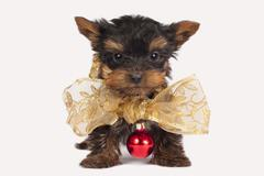 Cute Yorkshire terrier puppy. - stock photo