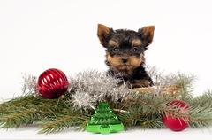 Yorkshire terrier puppy. - stock photo