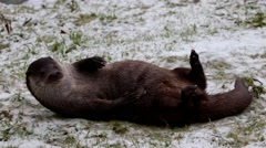 Otter Playing in Snow. Scratching its back and washing itself. Stock Footage