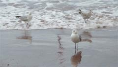 Seagull Creates Footprints in Beach Walking Across  Wet Sand into the Sea Waves Stock Footage
