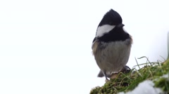 Coal tit - Periparus ater, Parus ater Stock Footage