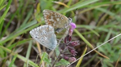 butterflies,  Lycenidae, coupling - stock footage