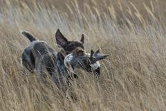 Hunters Dog - stock photo