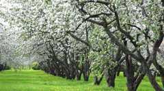 Beautiful blossoming apple-tree garden Stock Footage