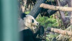 Giant panda eating bamboo in zoo (Ailuropoda melanoleuca) Stock Footage