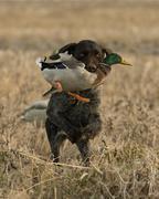 Hunting Dog Stock Photos