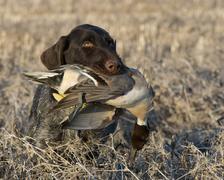 Hunting Ducks Stock Photos