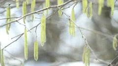 Hazelnut bloosom in wintertime - stock footage