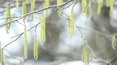 Hazelnut bloosom in wintertime - stock footage