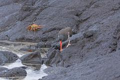 An American Oystercatcher looking for food on the Rocks - stock photo