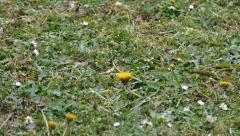 Snow Falling On A Bloomed Dandelion - 100fps - Slow Motion Stock Footage