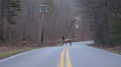Elk Crossing The Road Stock Footage