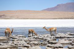 Vicunas in the lagoon of Andes in Bolivia Stock Photos