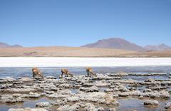 Vicunas or wild lamas in Atacama Desert, America - stock photo
