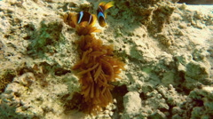 Clownfish shelters and anemone on coral reef in Red Sea Stock Footage