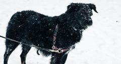 Mut Blizzard Black Dog Snow Storm Border Collie Australian Shepherd Cold Winter Stock Photos