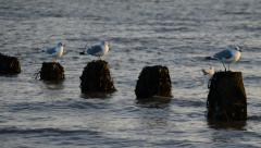 Three Sea Gulls Perch in a Line on Posts in the Sea Stock Footage