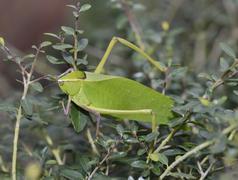 Leaf Bug - stock photo