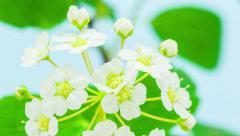 White jasmine flower blossoming Stock Footage