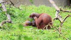 Female Bornean orangutan cares for the male Stock Footage