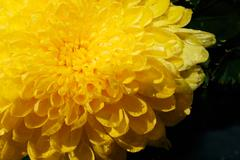 Yellow Flower isolated on black, Marigold Stock Photos