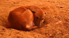 Dog at rural area Desert Stock Footage