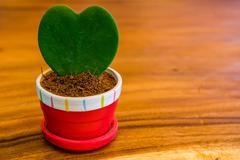 Heart-shaped tree in a pot on a wooden table. - stock photo