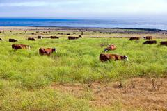 Cows graze fresh grass on a meadow in Andrew Molina State park Stock Photos