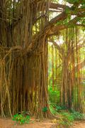 Large old trees overgrown with lianas Stock Photos