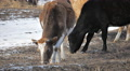 Cow Eat Winter 3 HD Footage
