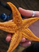 Stock Photo of The northern pacific seastar (Asterias amurensis)
