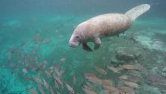Endangered Florida Manatee swimming in Crystal River, Florida, USA. Arkistovideo