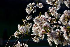 Blossom of cherry tree flowers in spring background Stock Photos