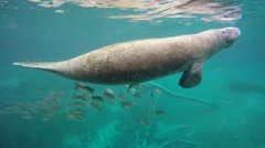 Endangered Florida Manatee swimming in Crystal River, Florida, USA. Stock Footage