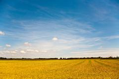 Acres after harvest are looking golden in the sun with blue sky Stock Photos