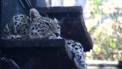 Caged leopard Stock Footage