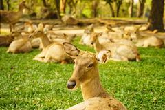Brow-antlered deer Stock Photos
