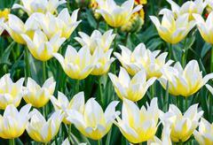 Beautiful white tulips closeup. Stock Photos