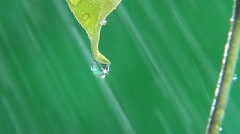 Rain drops dripping off end of leaf, rain in fore clean fresh water - stock footage