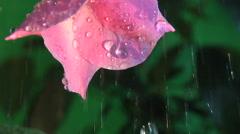Rain drops falling upon flower petal, clean fresh water Stock Footage