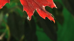 Rain drops dripping off end of fall colored leaf, clean fresh water Stock Footage