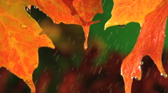Rain drops dripping off end of fall colored leaf, clean fresh water - stock footage