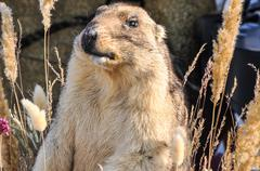 Marmot - mammal, representative of rodents Stock Photos
